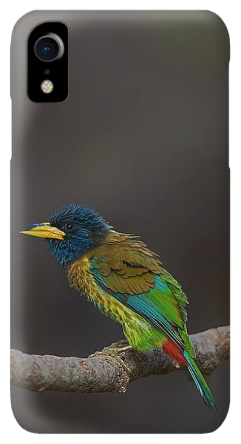 Bird Images For Print IPhone XR Case featuring the photograph Great Barbet by Uma Ganesh