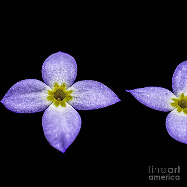 Bluets Poster featuring the photograph Bluets by Thomas R Fletcher
