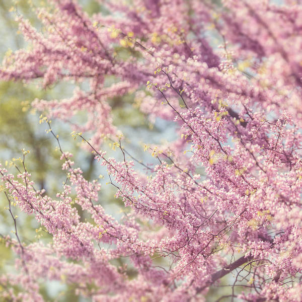 Pink Poster featuring the photograph Pastel Pink Flowers Of Redbud Tree In Springtime by Lisa Russo