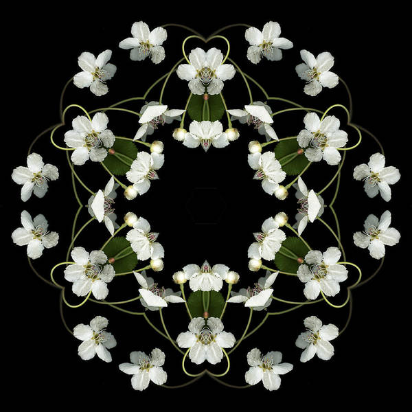 Mandala; Floral; Botanical; Scanner Photography; Scanography; Pear Blossoms; White; Leaves; Poster featuring the photograph Orbits by Marsha Tudor