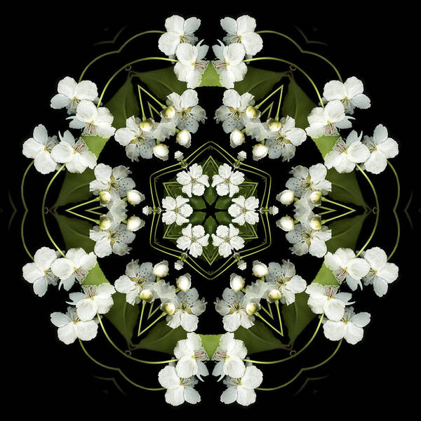 Mandala; Floral; Botanical; Scanner Photography; Scanography; Pear Blossoms Poster featuring the photograph Ruffles by Marsha Tudor