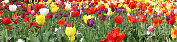Tulip Garden Poster featuring the photograph Tulip Garden University Of Pittsburgh by Thomas R Fletcher