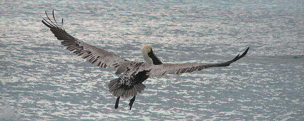 Pelican Poster featuring the photograph In Flight by Ginger Howland