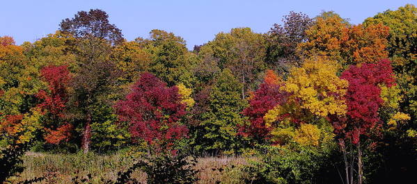 Colorful Trees On An Autumn Day At The Morton Arboretum Poster featuring the photograph Autumn Colors by Rosanne Jordan