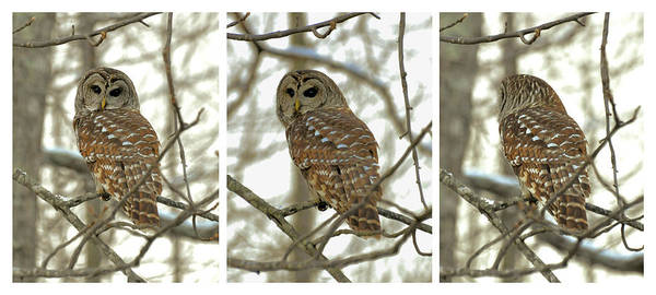 Paul Lyndon Phillips Poster featuring the photograph Snowy Morning Owl Triptic - 10dec563a by Paul Lyndon Phillips