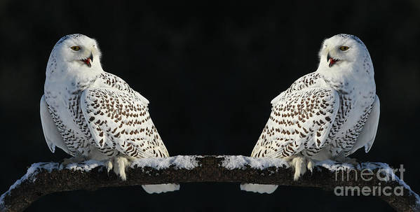Owls Poster featuring the photograph Seeing Double- Snowy Owl At Twilight by Inspired Nature Photography Fine Art Photography