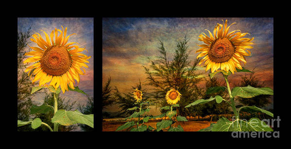 Sunflower Poster featuring the photograph Sunflowers by Adrian Evans