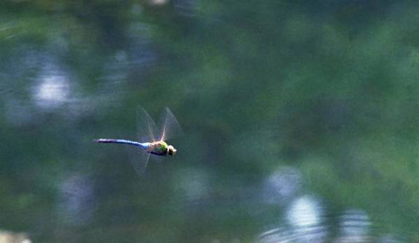 Dragonfly Poster featuring the photograph 070406-80 by Mike Davis