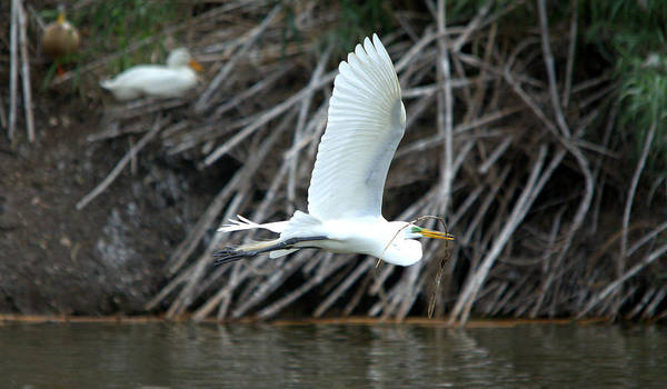 Roy Williams Poster featuring the photograph Great Egret Building A Nest by Roy Williams