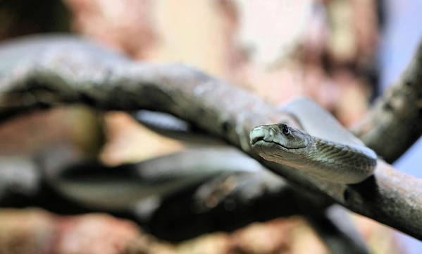 Dendroaspis Polylepis Poster featuring the photograph The Black Mamba by JC Findley