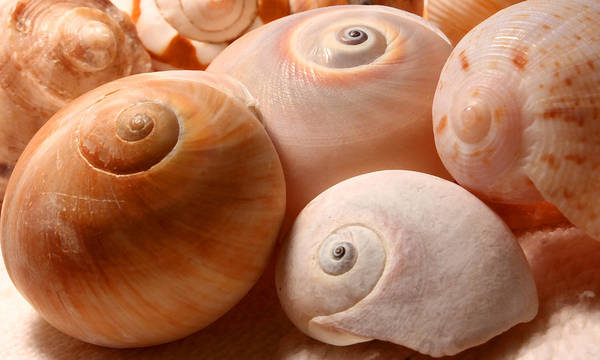 Snail Poster featuring the photograph Sea Spirals by Barbara White