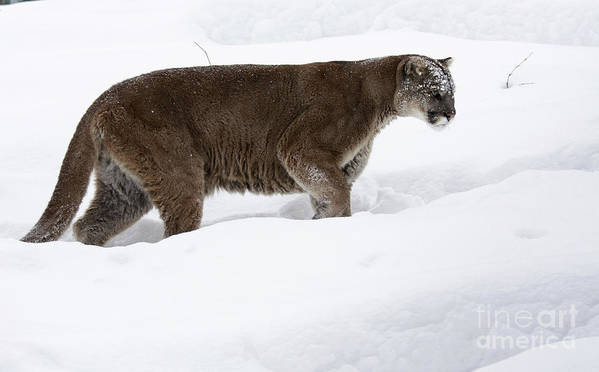 Northern Poster featuring the photograph Northern Depths Cougar In The Winter Snow by Inspired Nature Photography Fine Art Photography