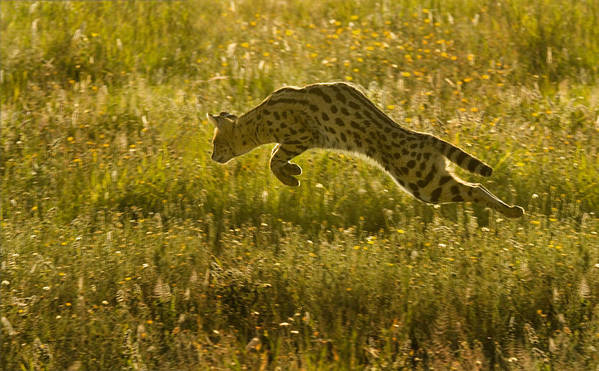 Serengeti National Park Poster featuring the photograph Serval Cat Pouncing Serengeti by Boyd Norton
