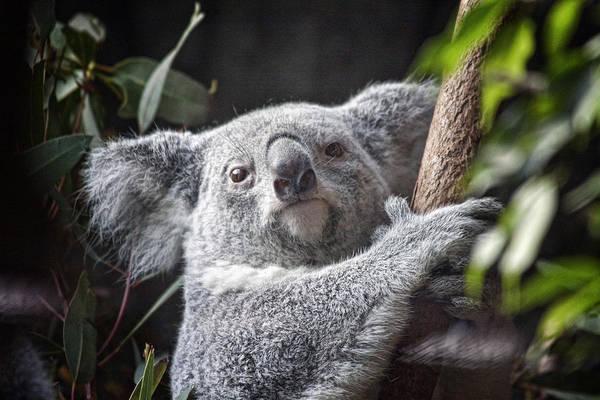 Koala Poster featuring the photograph Koala Bear by Tom Mc Nemar