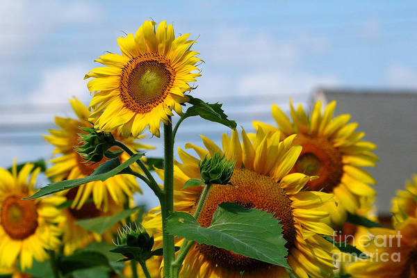 Sunflowers Poster featuring the photograph Sunflowers 1 2013 by Edward Sobuta
