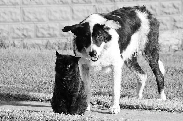 Cat Poster featuring the photograph Farm Cat And Border Collie by Thomas R Fletcher