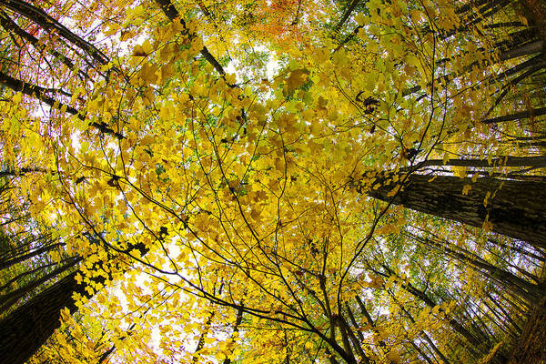 Autumn Photographs Poster featuring the photograph Golden Canopy by Rick Berk