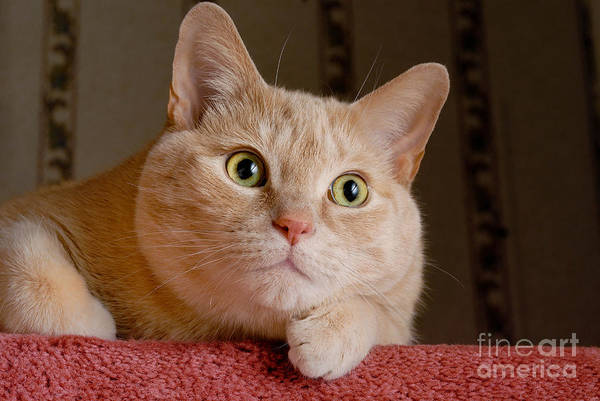Alert Poster featuring the photograph Portrait Orange Tabby Cat by Amy Cicconi