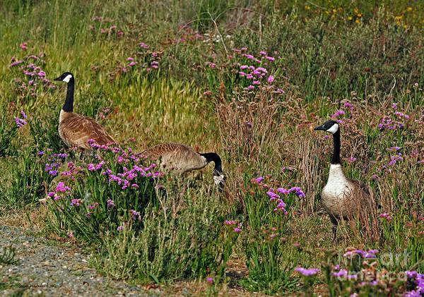 Susan Wiedmann Poster featuring the photograph Three Quiet Canada Geese by Susan Wiedmann