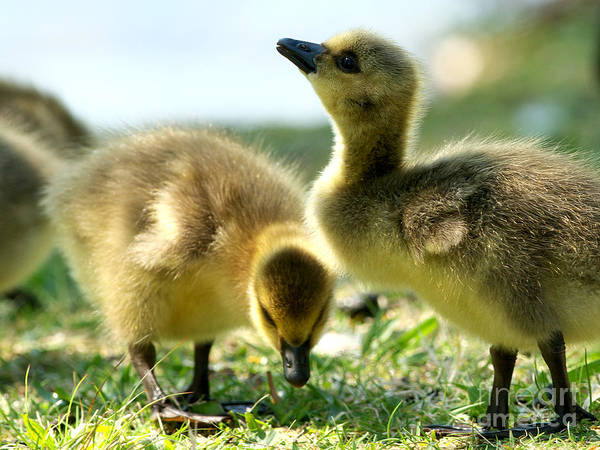 Canada Geese Poster featuring the photograph Goslings 6 by Sharon Talson