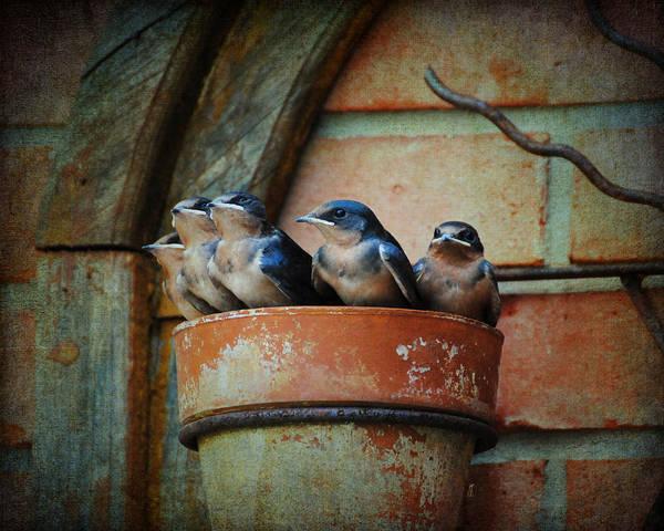 Avian Poster featuring the photograph Flowerpot Swallows by Jai Johnson