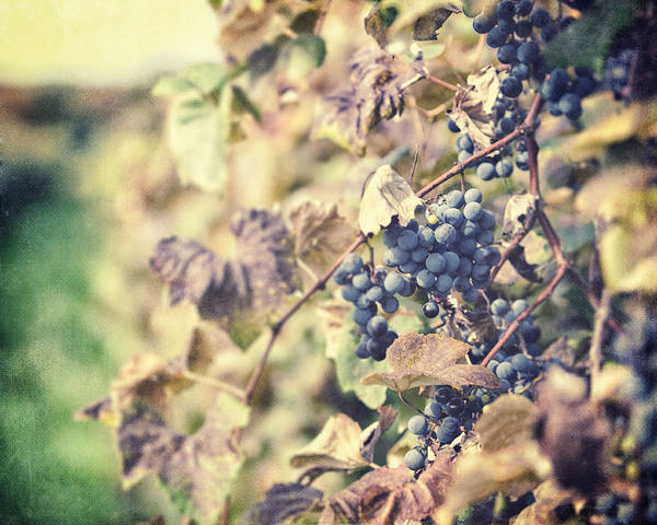 Grapevines Poster featuring the photograph In The Vineyard by Lisa Russo
