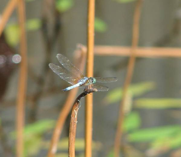 Dragonfly Poster featuring the photograph Breaktime by Shiana Canatella