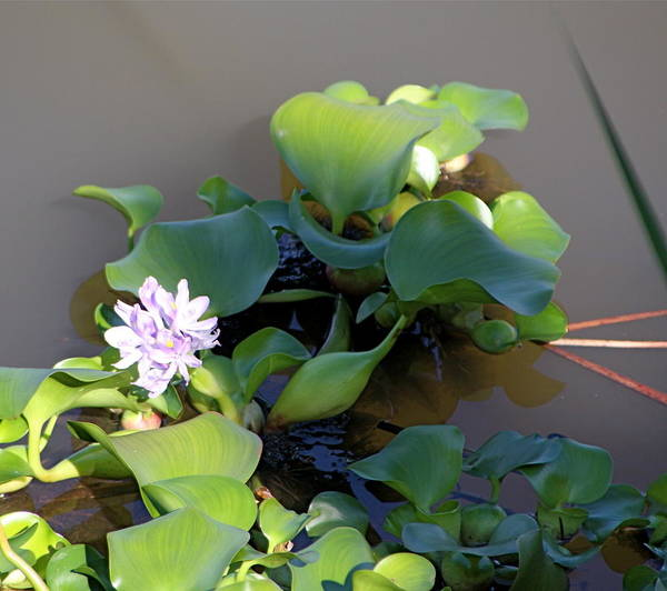 Flower Poster featuring the photograph Lilly Pad On The River by Kenna Westerman