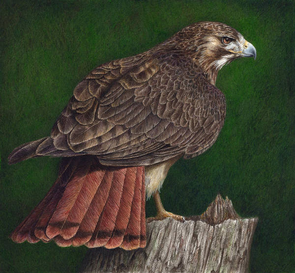 Raptor Poster featuring the painting Red Tail Hawk by Pat Erickson