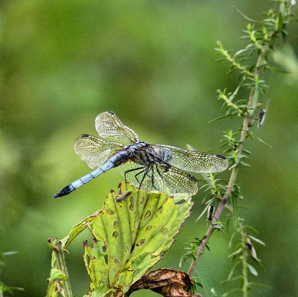 Dragonfly Poster featuring the photograph His Domain by JC Findley