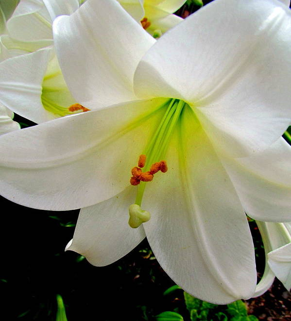 Christmas Lily Poster featuring the photograph Flower Christmas Lily. by Joyce Woodhouse