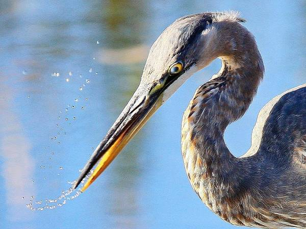Great Blue Heron Poster featuring the photograph A Near Miss by Donald Cramer