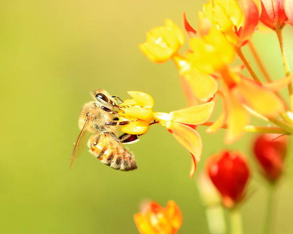 Animals Poster featuring the photograph Bee On Milkweed by Greg Allore