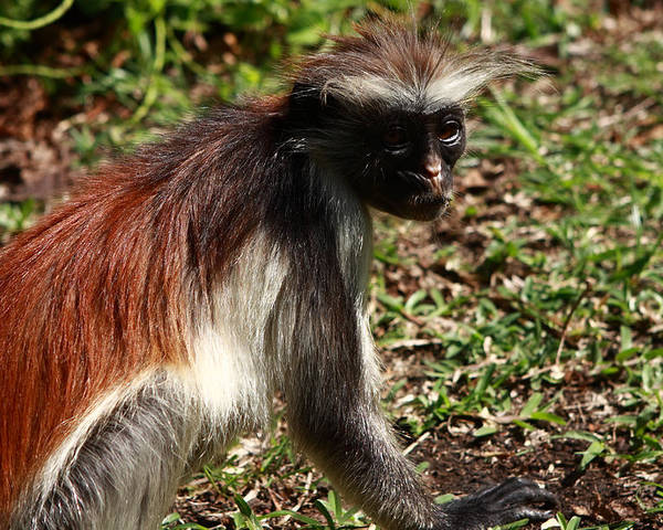 Red Colobus Monkey Poster featuring the photograph Colobus Monkey by Aidan Moran