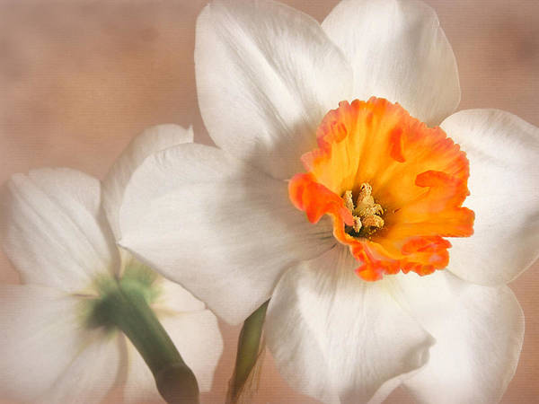 Flower Poster featuring the photograph Daffodil by David and Carol Kelly
