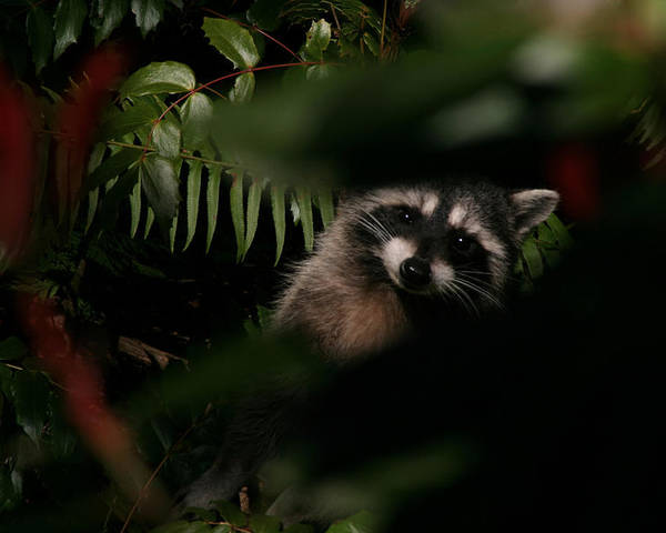 Animals Poster featuring the photograph I Can See You Mr. Raccoon by Kym Backland