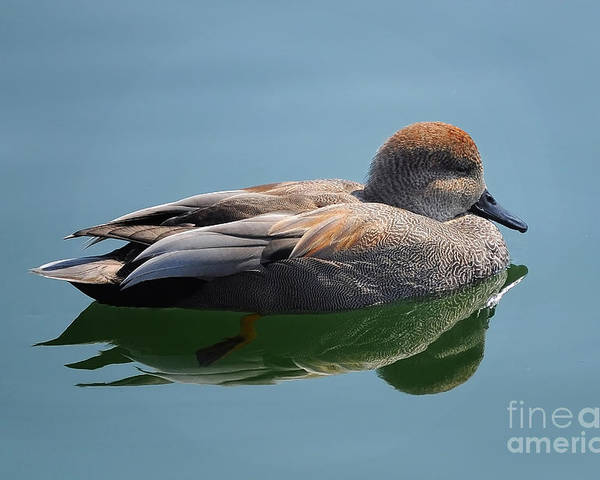 Duck Poster featuring the photograph Male Gadwall Duck by Elaine Manley