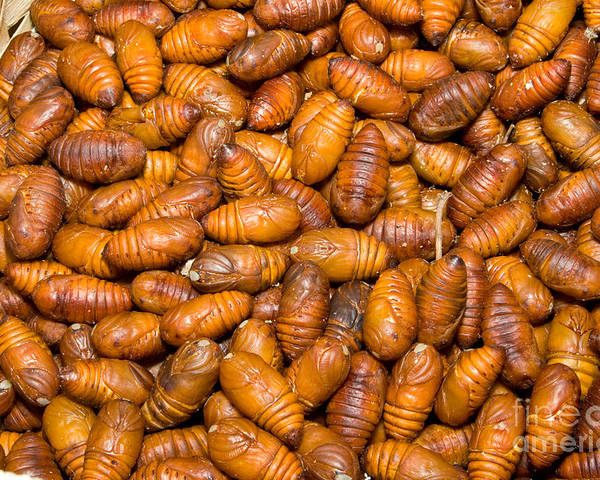 Lepidoptera Poster featuring the photograph Silkworm Pupae by Jim Pruitt
