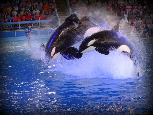 Orca Poster featuring the photograph 0678 by Onyx Armstrong
