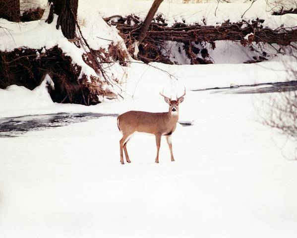 Whitetail Deer Poster featuring the photograph 080706-89 by Mike Davis