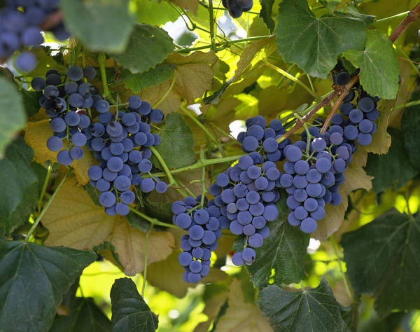Concord Poster featuring the photograph Agriculture - Concord Tablejuice Grapes by Gary Holscher