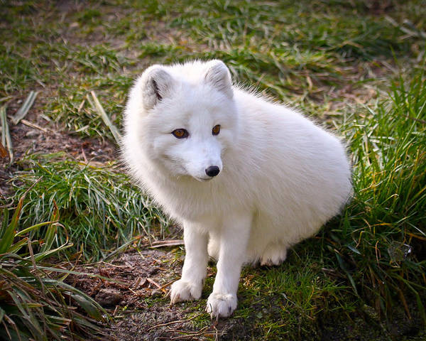 Arctic Fox Poster featuring the photograph Arctic White Fox by Steve McKinzie