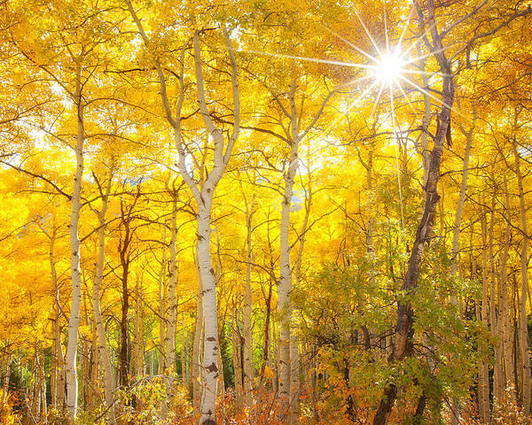 Aspens Poster featuring the photograph Aspen Morning by Darren White