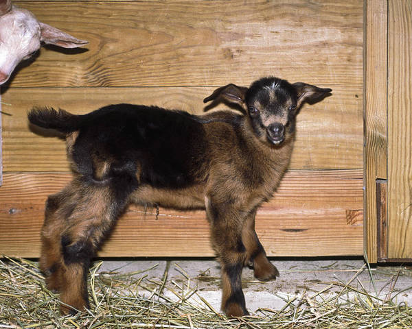 2 Baby Goats Poster featuring the photograph Baby Goats by Sally Weigand