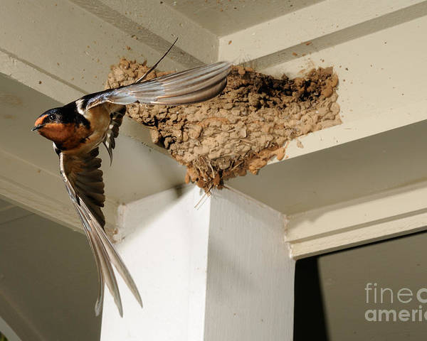 Barn Swallow Poster featuring the photograph Barn Swallow by Scott Linstead