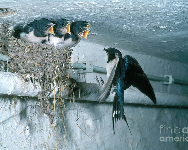 Barn Swallow Poster featuring the photograph Barn Swallows by Hans Reinhard