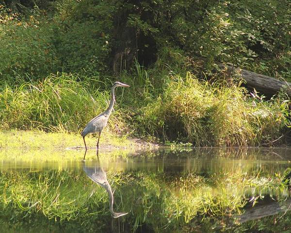 Birds Poster featuring the photograph Blue Heron by Wayne Toutaint