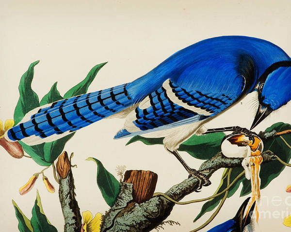 Wildlife Poster featuring the drawing Blue Jay by Celestial Images