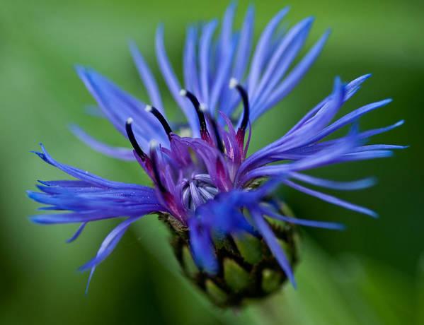 Centaurea Montana Poster featuring the photograph Blue by Jerri Moon Cantone