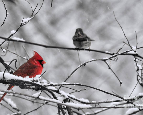 Cardinal Poster featuring the photograph Cardinal In Winter by David Arment